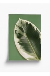 Plakát Pokojovky – Ficus Elastica Tineke